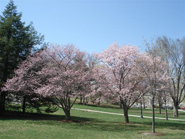 The Middlebury Landscape Cherry Trees